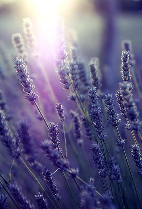 lavender-plants-amazing-plant