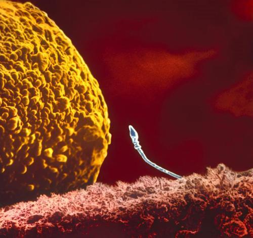 Сперматозойд  добрался до яйцеклетки